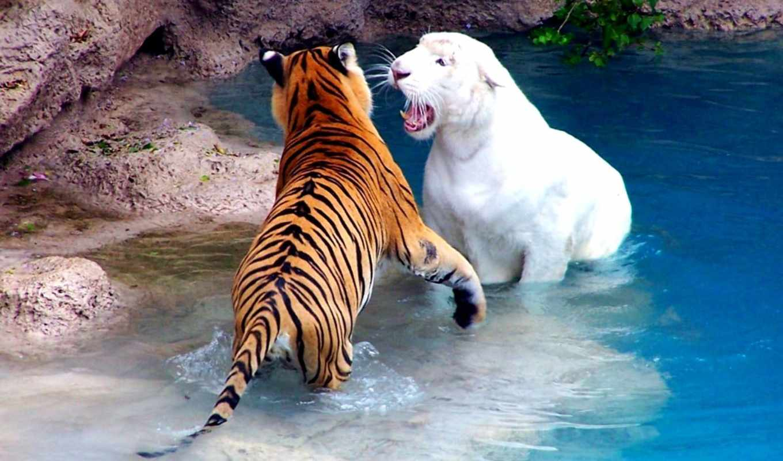 тигр, тигры, полосатый, кошки, водоеме,