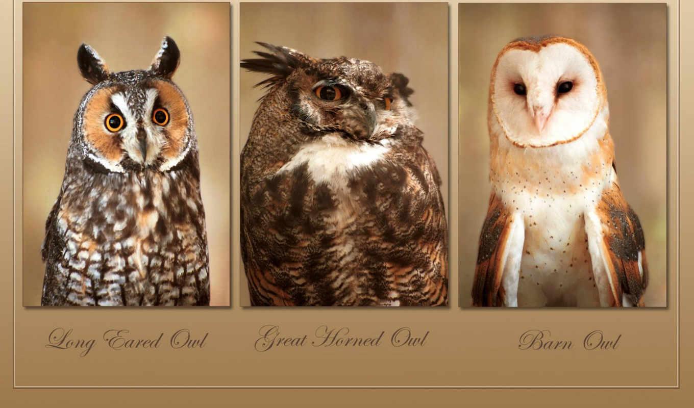 сова, horned, great, совы, eared, long, photos, stock, птицы, high,