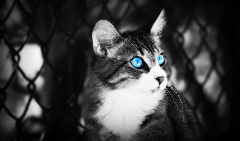 кот, white, глаз, blue, фон, черная