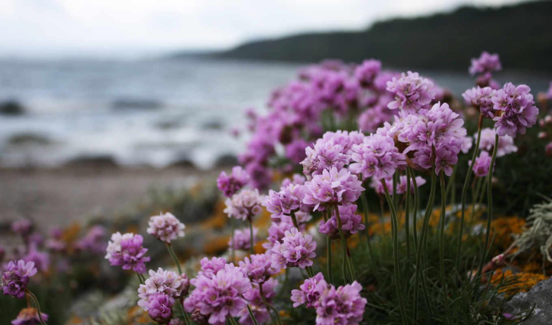 природа, берег, цветы, растения, розовые, макро, нравится,