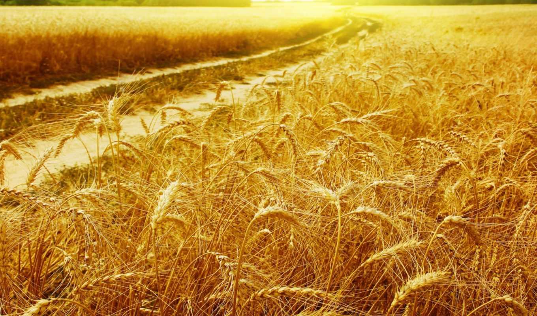пшеница, поле, пейзажи, золотая, лучи, золотые, колоски, солнце, рожь, августа, зерна, пшеницы, прогноз, пейзаж,