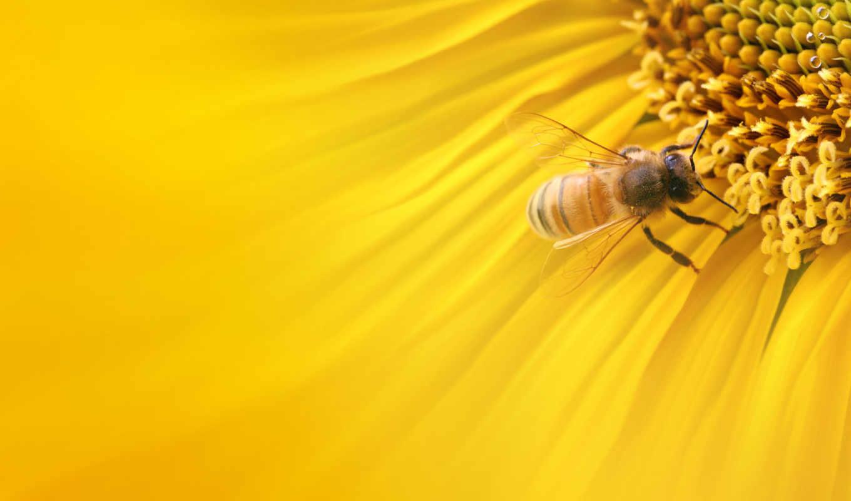 пчела, макро, цветке,