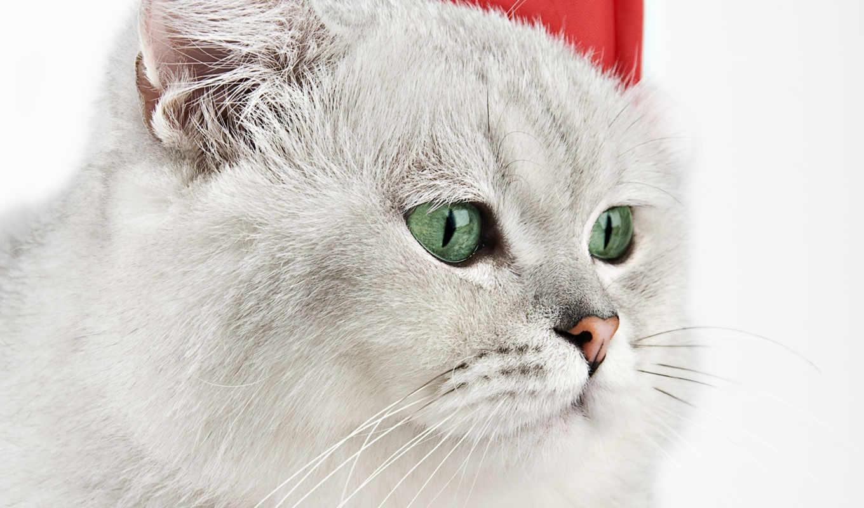 kot, кошка, пепельный, персидская, кот, persian, котенка, светло,