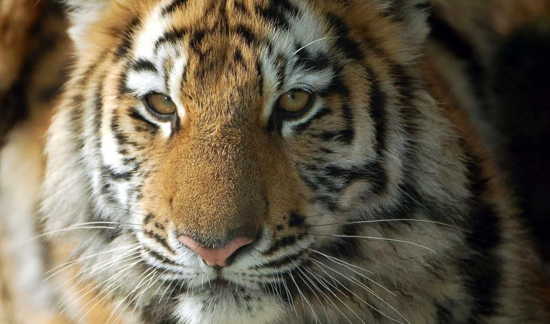 кот, широкоформатные, всяких, problem, без, этом, когда, тигр, дикая, янв, красивые,
