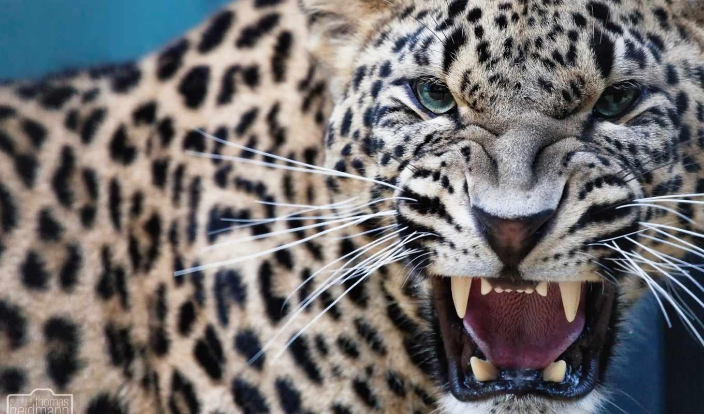 леопард, ухмылка, зубы, клыки, хищник,