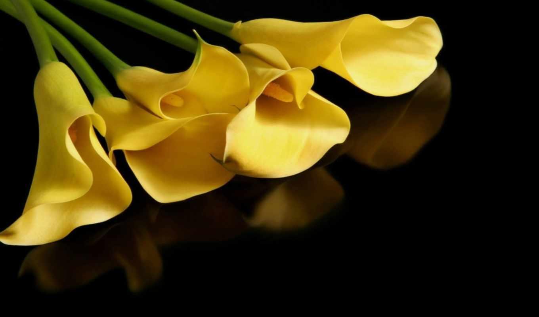 каллы, желтые,