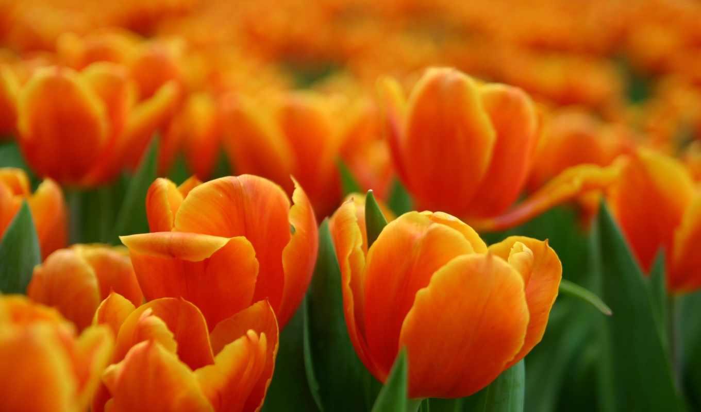 оранжевые, цветы, color, оранжевый, тюльпаны, flowers,