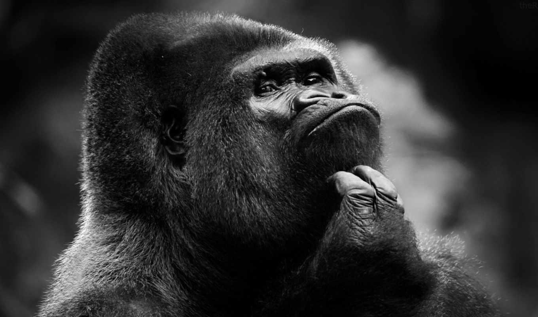 горилла, обезьяна, шимпанзе, gorille, zhivotnye, fond,