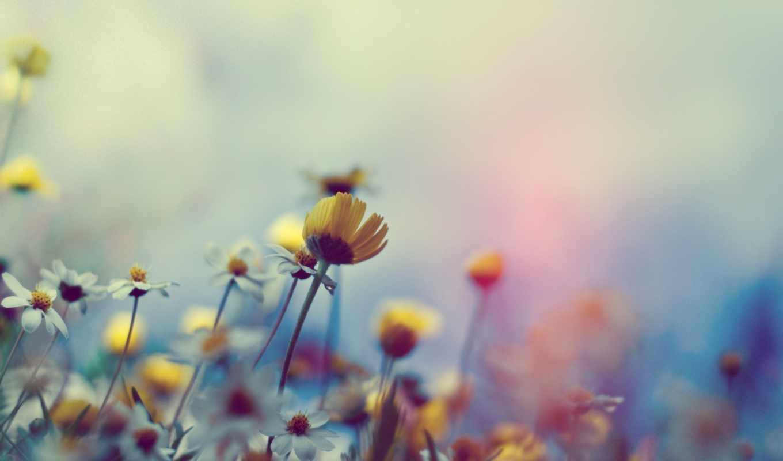 цветы, полевые, ромашки, fone, широкоформатные, нравится,