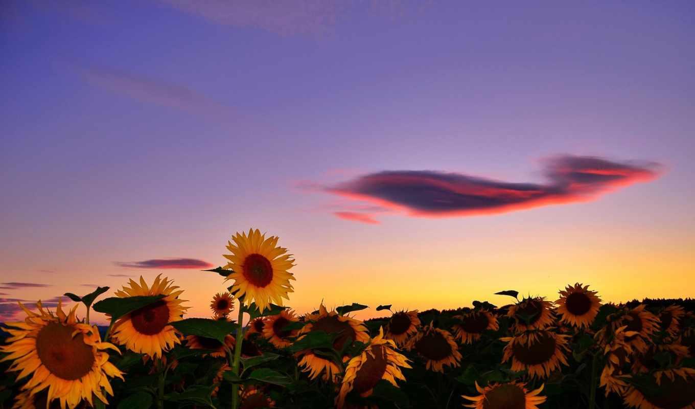 summer, подсолнухи, поле, природа,