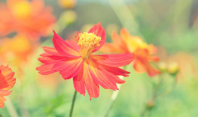 цветы, страница, summer, flowers, красные,