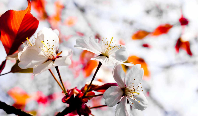 япония, растение, цветы, Сакура,