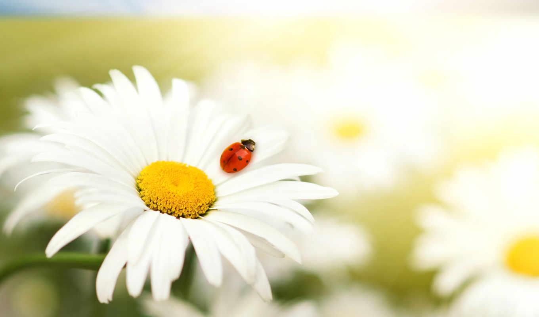коровка, божья, ромашка, цветы, взгляд,
