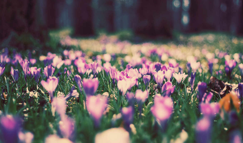 цветы, поляна, природа, нравится, summer, фиолетовые,