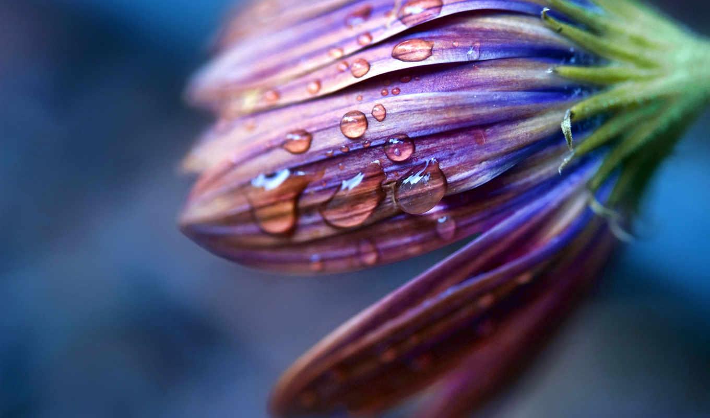 капли, роса, макро, лепестки, цветы, water, oboi, росы, full,