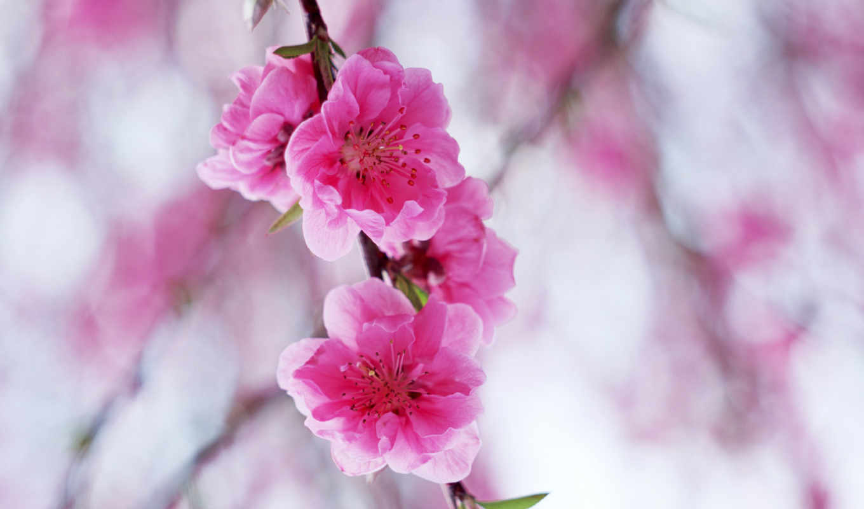 цветы, нежные, роозовый, розовый цветок, нежно,