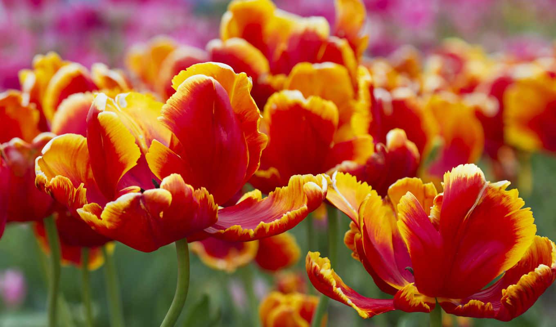 тюльпаны, цветы, red, небо,