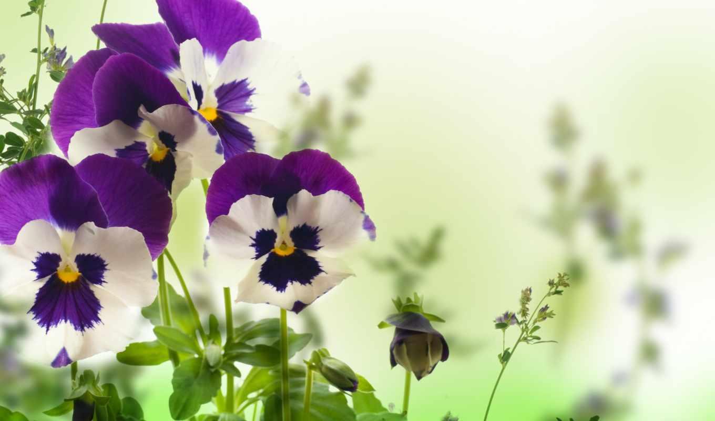 белом, fone, цветы, клипарт, яркие, мб, глазки, анютины,