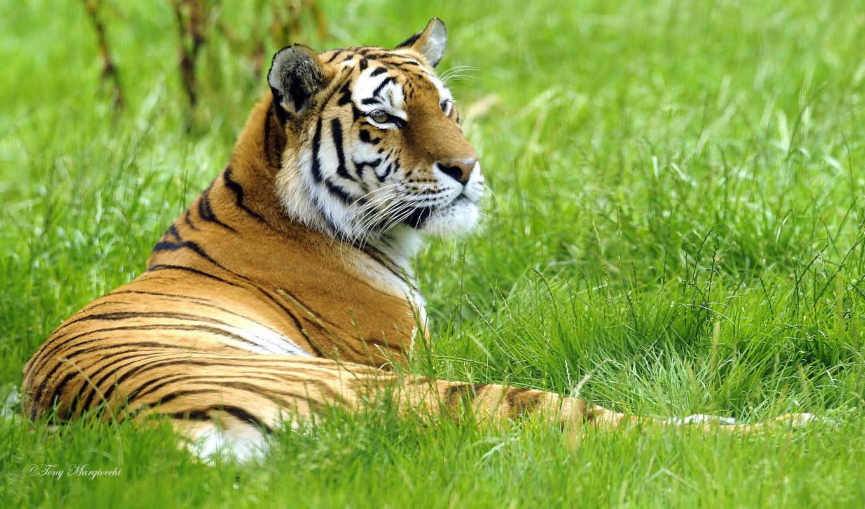 тигры, большие, тигр, кошки, лайков, дизлайков, чтоб, оставить,