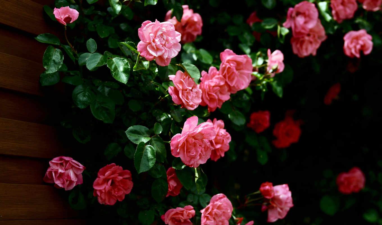 wallpaper, hd, flowers, roses, wallpapers, стена, розовые, desktop, листья, rosen, розы, картинка, to, full, download, ورد, صور,