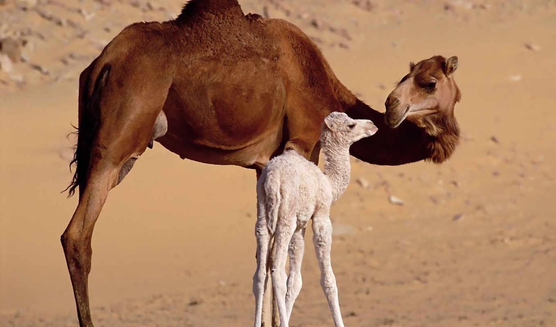 camel, верблюжонок, верблюды, верблюда, фото, верблюдов, caravan, пустыне, два, пустыня, зооклубе,