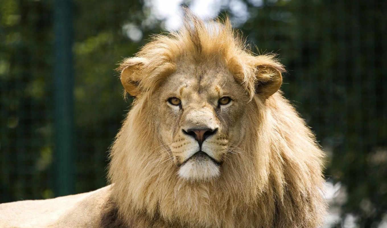 голова, lion, льва, грозный, дек,