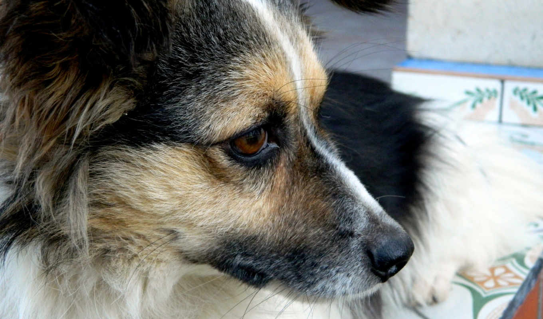 czechoslovakian, wolfdog,