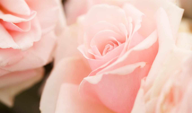 rosa, rosen, цветы, красивые, девушек, rosenstrauß,
