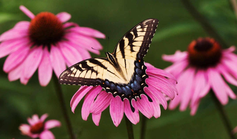 butterflies, бабочка, north, america, swallowtail, американский, found, об,