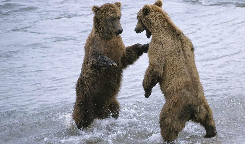 медведя, медведь, два, белых, страницу, обычно, медведи, before,