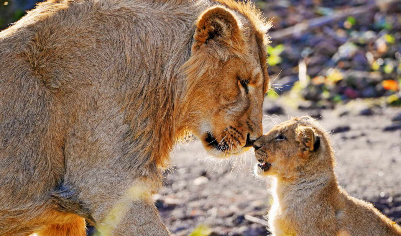 lion, детёныш, львы, взгляд, молодой, уход,