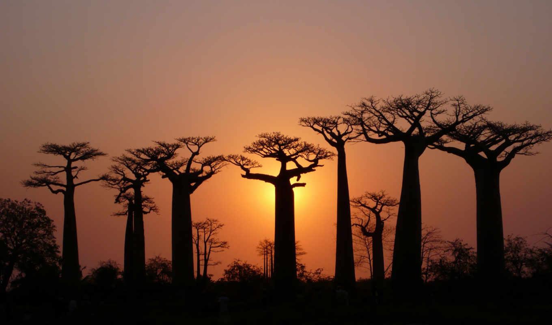 африка, закат, баобабы, силуэты, баобабами, февр, adansonia,