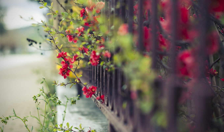 цветы, забор, макро, украсят, десктопмания, высококачественные, дороги, ваше,
