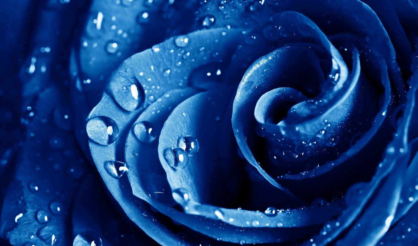 flowers, drops, water, роза, макро, blue, roses,