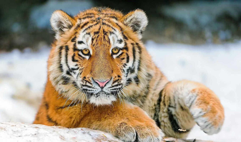 взгляд, страница, winter, хищник, тигр, тигры, морда, молодой,