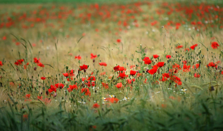 природа, цветы, поле, растительность, маки,