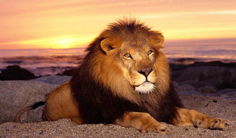 картинка, животные, звери, lion, картинку, desktop, забавные, click,