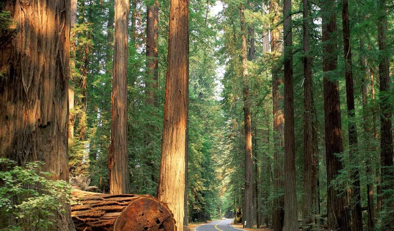 лес, дорога, дороги, природа, лесу,