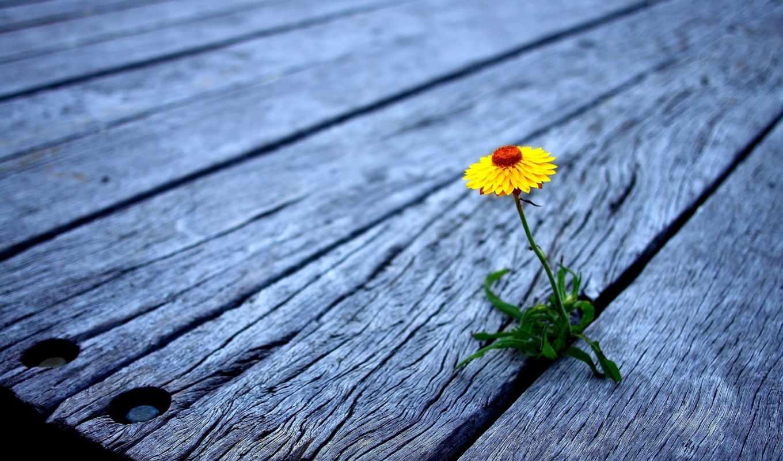 большие, доски, miks, деревянные, цветок, желтый, кликните, увеличения, красивые, настил,