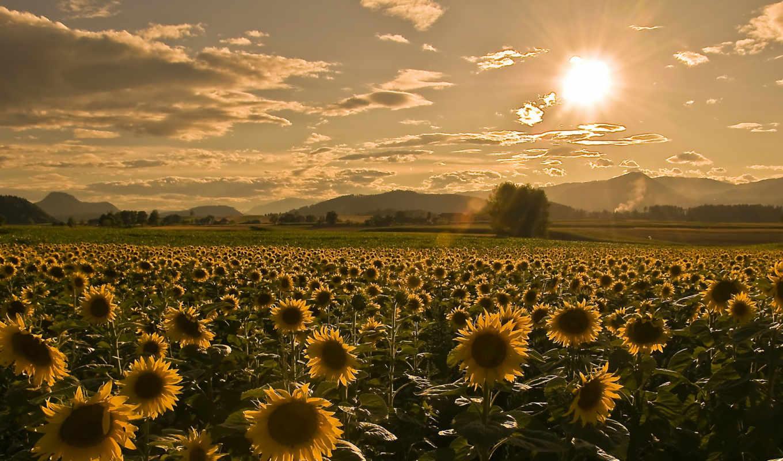 поле, summer, sunflowers, подсолнухов, небо, цветы, sun,