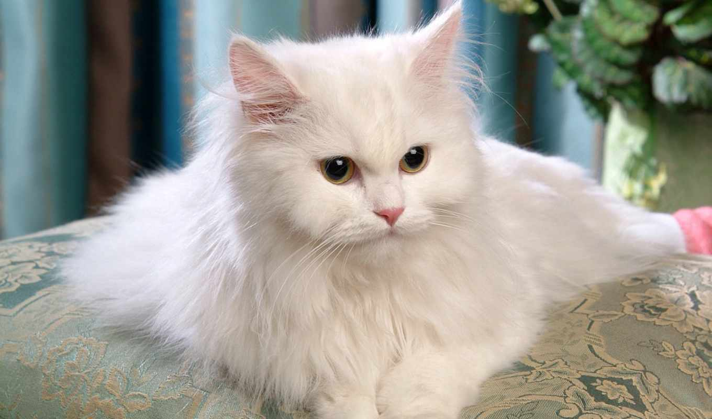 persian, cats, white, кошки, кот, самый, kittens, персидская, фотографий, zhivotnye,