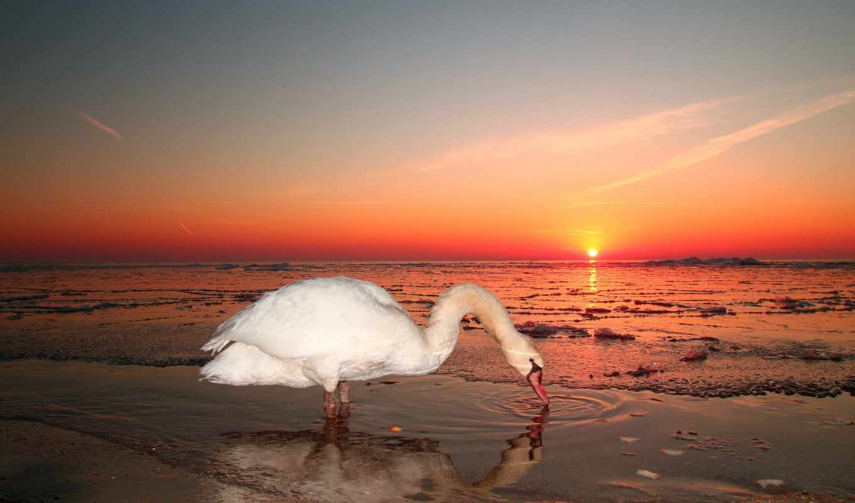 лебедь, море, закат, небо, животные, картинку, iphone, качественные, красивыми, oficiu, птицами, черными, белыми, лебедями, wallpaper, ipad,