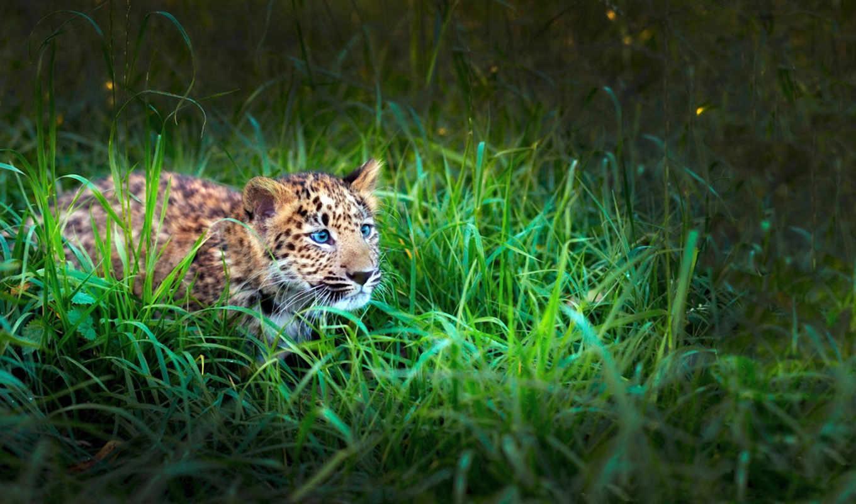 леопард, трава, малыш, взгляд, охота, тигр, зелёная, baby,