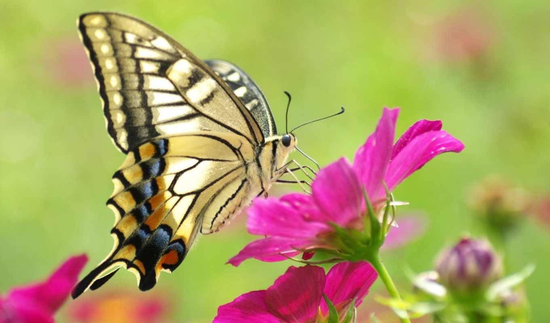 бабочка, рисунки, макро, качестве, высоком, красивая, желтая, красочная,