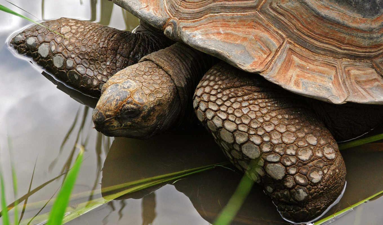 черепаха, water, похожие, голова,