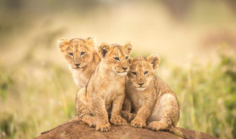 lion, кот, фон, котенок, trinity, детёныш, три, baby, трио, hill