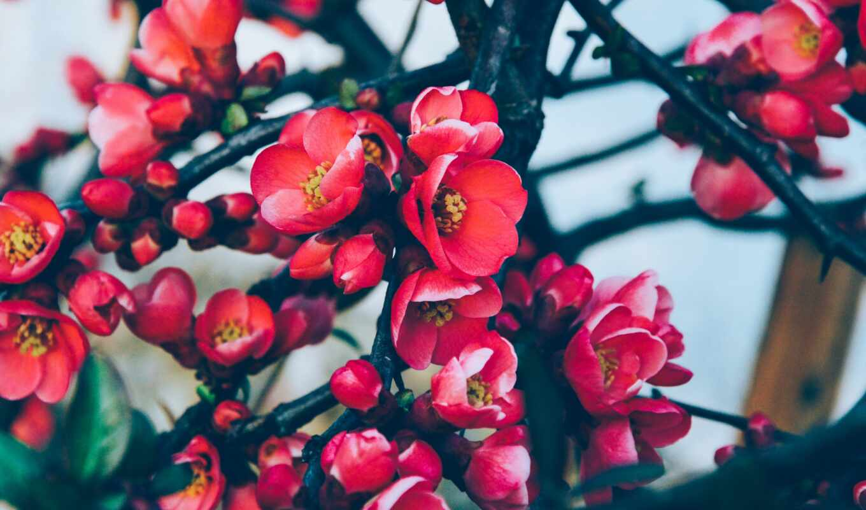 цветы, ipad, лепестки, нота, cherry, картинка, который, проект
