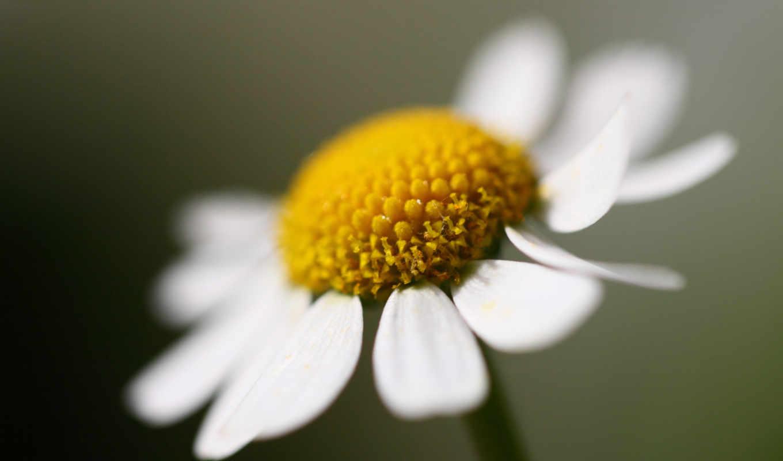 цветы, ромашки, макро, ромашка, гребешки,
