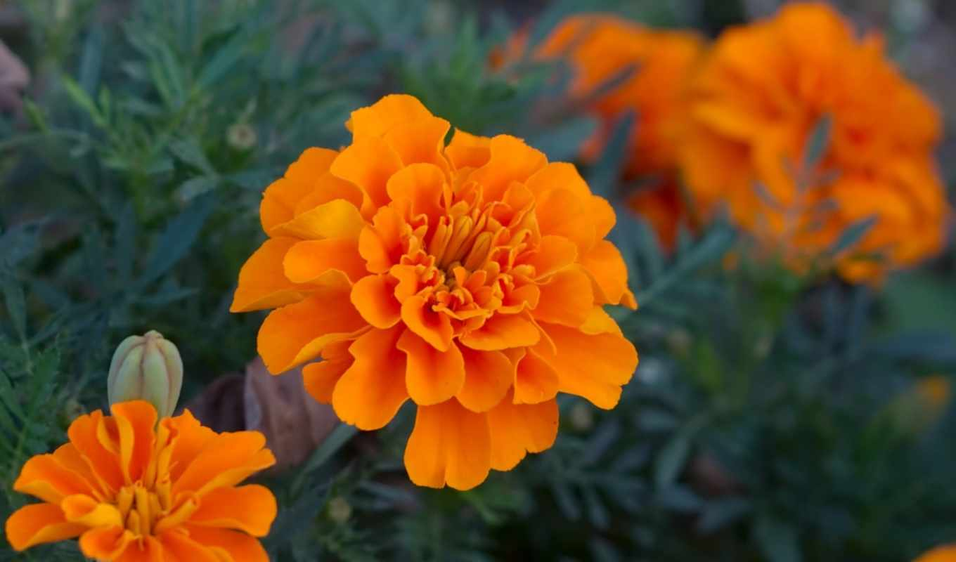 бархатцы, marigolds, tagetes, are, от, цветков,