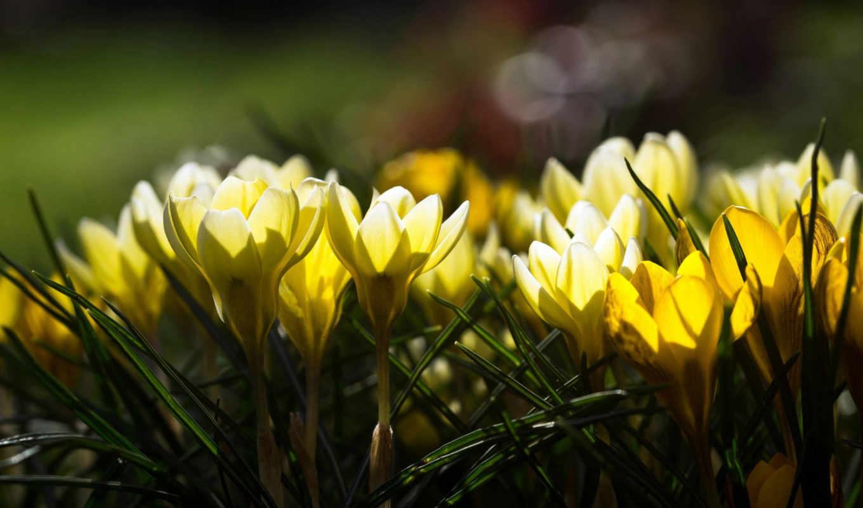 цветы, крокусы, желтые, весенние, весна, блики,
